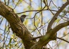 De lente het starling in een park Stock Afbeeldingen