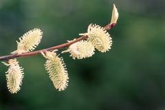 De lente het tot bloei komen van een wilg Stock Afbeelding