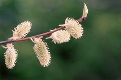De lente het tot bloei komen van een wilg Stock Foto