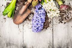 De lente het tuinieren achtergrond met hyacintbloemen, bollen, Knollen, schop en grond Royalty-vrije Stock Foto's