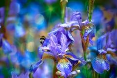 De lente Hommel onder de irisbloemen Royalty-vrije Stock Afbeeldingen