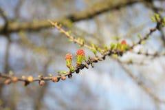 De lente, jonge groene bladerenlariks Stock Foto's