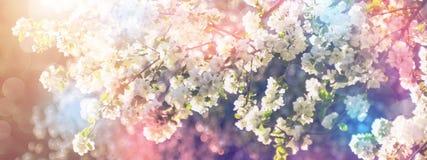 De lente komt appelboom in zonnige dag tot bloei Bannerconcept stock foto's