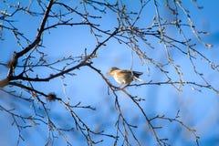 De lente komt De lijsterkoperwiek zingt op tak, waar de bloesem weggaat Stock Foto