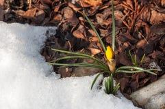 De lente komt, krokussen uit gekomen koude grond naderbij Royalty-vrije Stock Foto