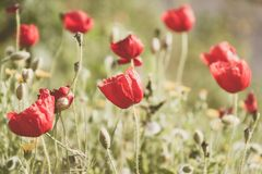 De lente komt met de eerste papavers aan royalty-vrije stock afbeeldingen