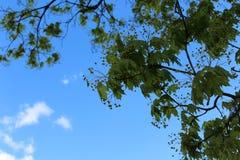 In de lente, kwam een grote boom tot bloei Het ` s een zonnige de lentedag Stock Foto