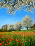 De lente landelijk landschap met bloeiend papavergebied en bomen in zonnige dag Royalty-vrije Stock Afbeeldingen