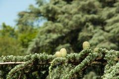 De lente mannelijke strobile met hars Stock Fotografie