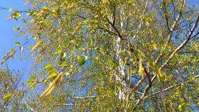 De lente met bloeiende berk ontluikt en tedere groene bladeren die op een wind tegen warme blauwe hemel slingeren stock videobeelden