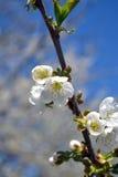 De lente met kersenbloesems stock afbeeldingen