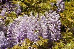 De lente in Milaan, het tot bloei komen wisteria #06 Stock Afbeeldingen