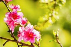 De lente, mooie roze bloemen op boomtakken stock foto's