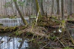 De lente nat gemengd bos met bevindend water stock afbeelding