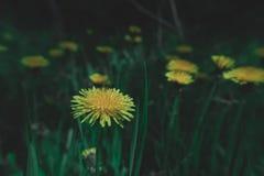 De lente paardebloem-gele bloemen in het gras royalty-vrije stock afbeelding