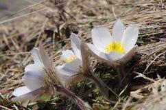 De lente pasqueflower (Pulsatilla-vernalis) Royalty-vrije Stock Foto
