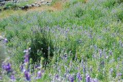 De lente purpere bloemen in het bos stock foto
