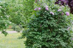 De lente purpere violette bloemen op struik van sering royalty-vrije stock foto's