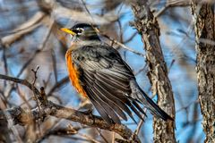 De lente Robin die en in schoonmaken gladstrijken schrobt eiken uitspreidend zijn vleugels stock foto's