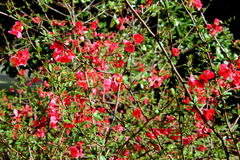 De lente roze bloemen op de tak in stadspark Stock Foto