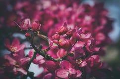 De lente roze bloesem Royalty-vrije Stock Fotografie