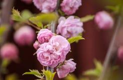 De lente roze Japanse kers die in te botanische tuin tot bloei komen Royalty-vrije Stock Afbeelding