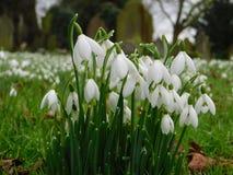 De lente is de sneeuwklokjes hier is opgesprongen stock foto