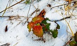 De lente snowmelt staat de hulst opnieuw aan adem toe royalty-vrije stock afbeelding