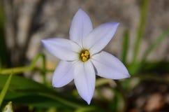 De lente starflower stock fotografie