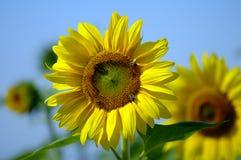 De lente is terug met een reuzezonnebloem in volledige bloei Stock Foto