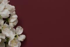 De lente tot bloei komende bloem op de donkerrode achtergrond Ruimte voor tekst Stock Foto's