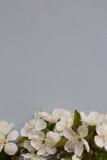 De lente tot bloei komende bloem op de grijze achtergrond Ruimte voor tekst Stock Fotografie