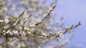 De lente, Tot bloei komende Boom stock footage