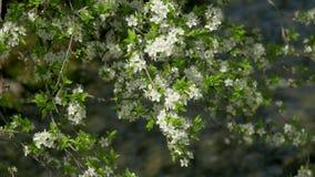 De lente, tot bloei komende boom, snelle rivier stock videobeelden
