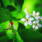 De lente Tot bloei komende Groene Achtergrond met Onzelieveheersbeestjes royalty-vrije stock foto's