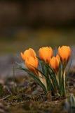 De lente in tuin - krokus Stock Afbeeldingen