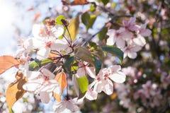 De lente vage achtergrond met zachte nadruk met tot bloei komende sakuratak Stock Afbeeldingen