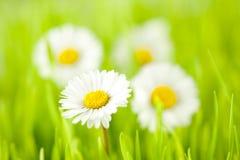 De lente van Daisy Stock Afbeeldingen