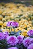 In de lente van de chrysant Royalty-vrije Stock Afbeeldingen
