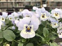 De lente van de viooltjeclose-up bloeit gele lavendel Royalty-vrije Stock Fotografie