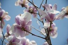 In de lente van magnolia Royalty-vrije Stock Afbeeldingen