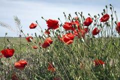 De lente van de papaverbloem Royalty-vrije Stock Afbeeldingen