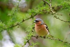 De lente Vink (mannetje) zitting op een tak van lariks Royalty-vrije Stock Afbeeldingen