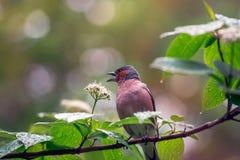 De lente Vinkzitting op een bloeiende tak Royalty-vrije Stock Afbeelding