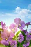 De lente violette bloemen tegen een blauwe hemel Stock Foto's