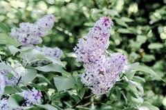 De lente violette sering in de de lentetuin Royalty-vrije Stock Afbeeldingen