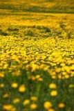 De lente voor paardebloemen Royalty-vrije Stock Foto's