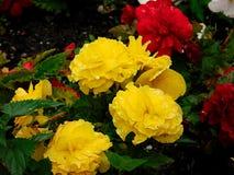 De lente is wedergeboorte met rood en geel toenam royalty-vrije stock afbeeldingen