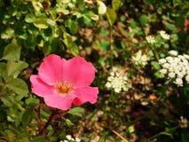 De lente is wedergeboorte met roze bloem royalty-vrije stock foto's