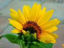 De lente is wedergeboorte met zonnebloemen stock fotografie